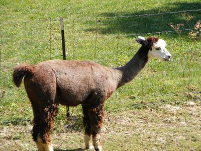 alpac…a whata?
